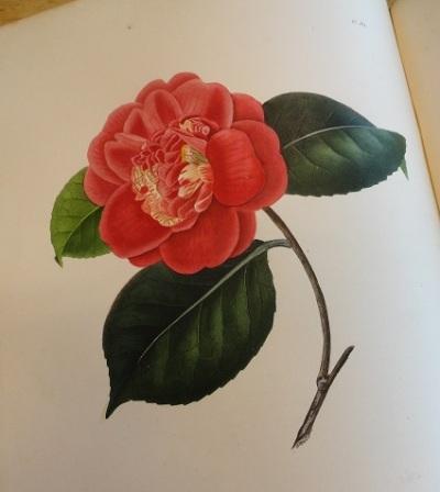 """Dessin extrait de :""""Camellia Santiniania, dessin extrait de « Iconographie du genre camellia ou description et figures du genre Camellia, les plus beaux et les plus rares peints d'après nature"""", 1841-1843"""