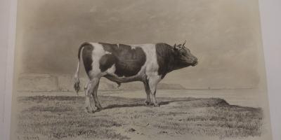 Taureau breton