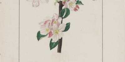 """Planche du Ms 1739 """"Pommier à cidre égyptien"""" : dessin et aquarelle. Pomme, coupe-dessin, fleur, pommier, pétale, branche, feuille"""