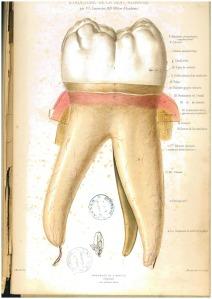 Anatomie iconographique stratifiée : structure de la dent humaine / par F. G. Lemercier (Paris : A. Reiff, 1877).