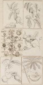 Planche représentant des pignons et des graines, Christophe - Paul de Robien, 1ère moitié du 18e siècle